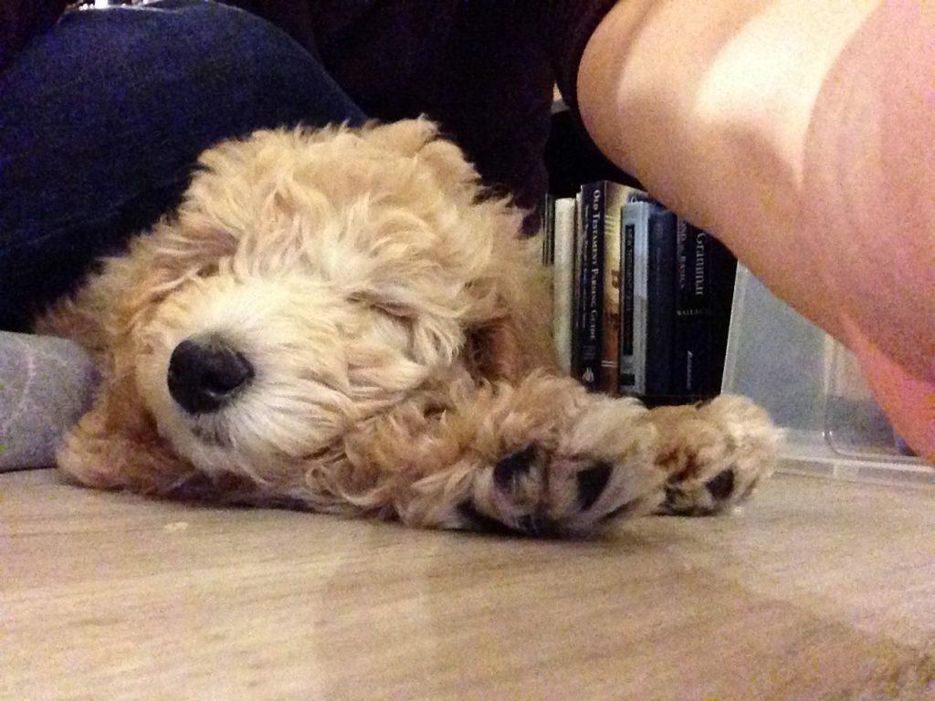 Goldendoodle puppy sleep